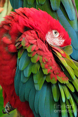 Green-winged Macaws Poster by Frank Townsley