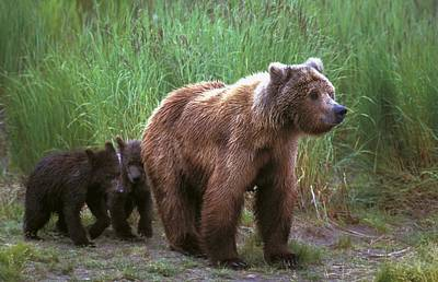 Grizzly Bear With Cubs Poster by John Pitcher