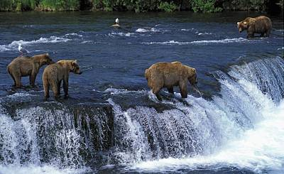 Grizzly Bears At Brooks Falls Poster by John Pitcher
