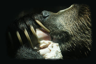 Grizzly Eating Poster by Ernie Echols