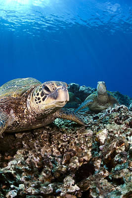 Hawaiian Turtle On Pacific Reef Poster by Dave Fleetham