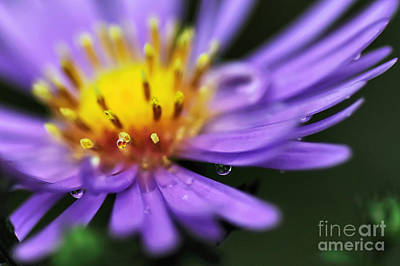 Hazy Daisy... With Droplets Poster by Kaye Menner