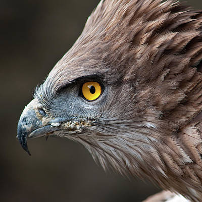 Head Of Eagle Poster by Jonatan Hernandez Photography