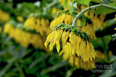 Head Of Sunflowers Poster by Bernard Jaubert