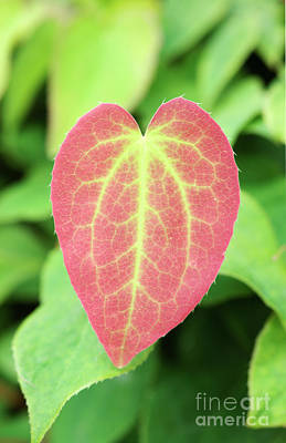 Heart Shaped Leaf Poster by Neil Overy