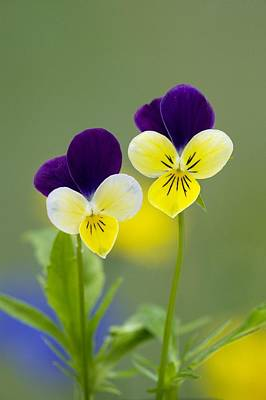 Heartsease (viola Tricolor) Poster by Bob Gibbons