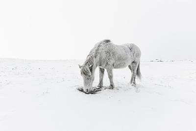 Horse Grazing In Snow Poster by Ingólfur Bjargmundsson