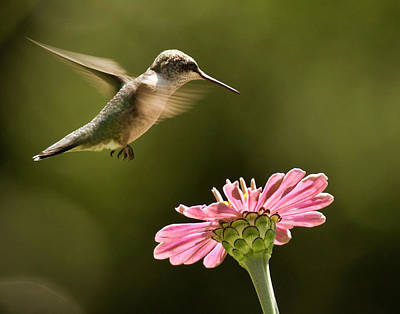Hummingbird Poster by Jody Trappe Photography