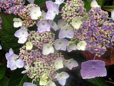 Hydrangea Poster by Angie Vogel