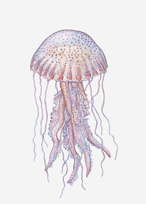 Illustration Of Mauve Stinger Jellyfish (pelagia Noctiluca) Poster by Dorling Kindersley