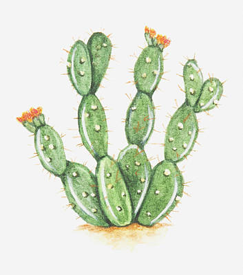 Illustration Of Opuntia Sp (prickly Pear Cactus) In Bloom Poster by Dorling Kindersley