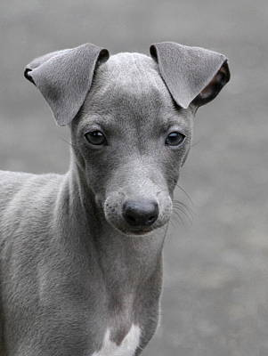 Italian Greyhound Puppy 2 Poster by Angie Vogel