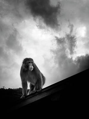 Japanese Macaque On Roof Poster by By Daniel Franco