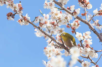 Japanese White-eye At Which It Looks Poster by Yuji Takahashi