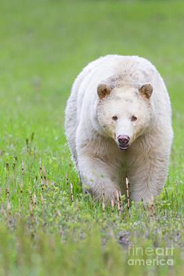 Kermode Bear Poster by Brandon Broderick