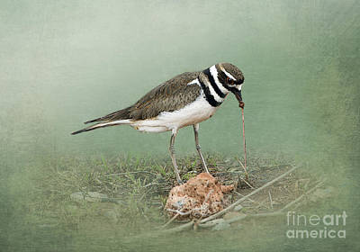 Killdeer And Worm Poster by Betty LaRue