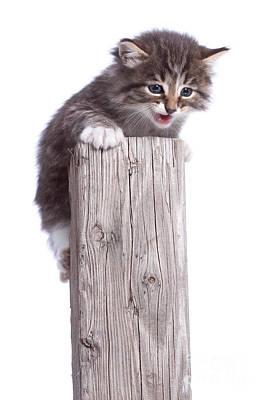 Kitten On Wooden Post Poster by Cindy Singleton
