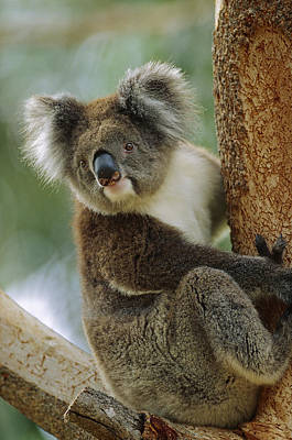 Koala Phascolarctos Cinereus Adult Poster by Cyril Ruoso