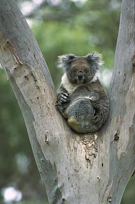 Koala Phascolarctos Cinereus Poster by Konrad Wothe