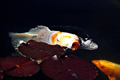 Koi In The Lillies Poster by Don Mann