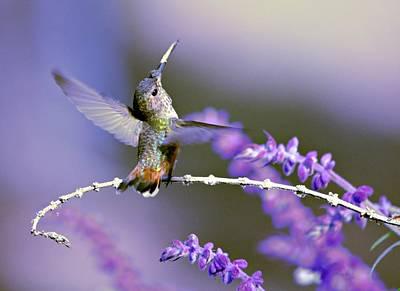 Lavender Lovers Hummingbird Poster by Fraida Gutovich