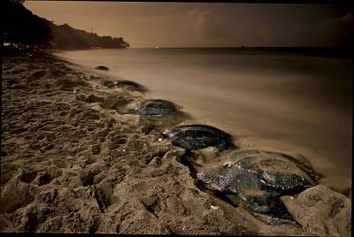 Leatherback Turtles Nesting On Grande Poster by Brian J. Skerry