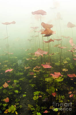 Lily Pads Underwater In Cenote Poster by Karen Doody
