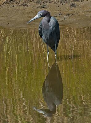 Little Blue Heron Assateague Island Poster by Lara Ellis