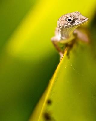Lizard Poster by Jack Scicluna