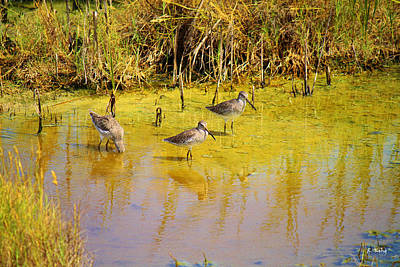 Long Billed Dowitchers Migrating Poster by Roena King