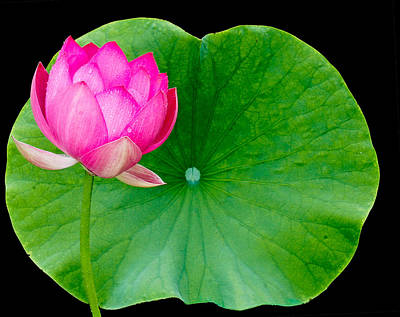 Lotus And Leaf Poster by Jean Noren