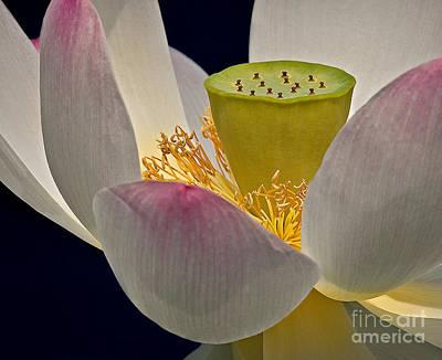 Lotus Blossom Poster by Susan Candelario