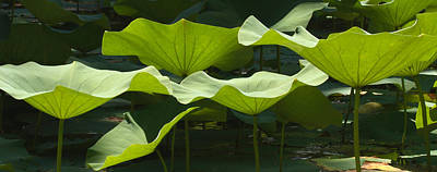 Lotus Lily Leaves In Pond Waimea Valley Poster by Sebastian Kennerknecht