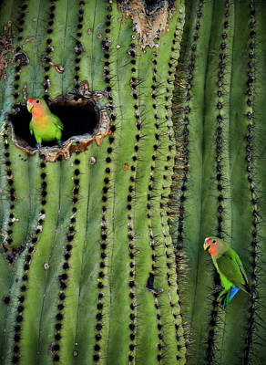 Peach-faced Lovebird Poster featuring the photograph Lovebirds And The Saguaro  by Saija  Lehtonen