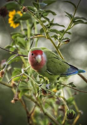 Lovely Little Lovebird Poster by Saija  Lehtonen