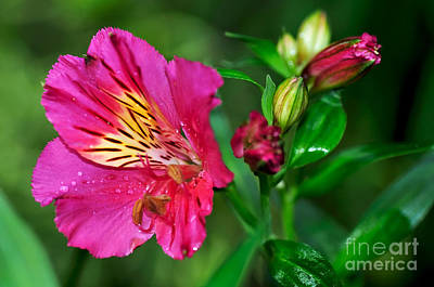 Magenta Princess Lily And Buds Poster by Kaye Menner