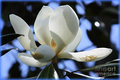 Magnolia In Blue Poster by Carol Groenen