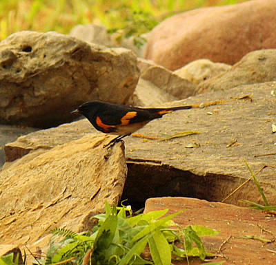 Male American Redstart On The Rocks Poster by Roena King