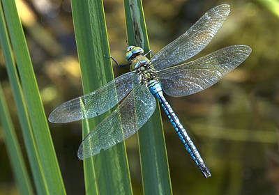 Male Emperor Dragonfly Poster by Adrian Bicker