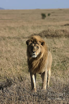 Male Lion's Gaze Poster by Darcy Michaelchuk