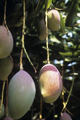 Mango Fruit Poster by Veronique Leplat