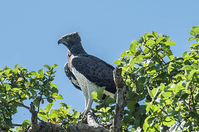 Martial Eagle Poster by John Reckleff