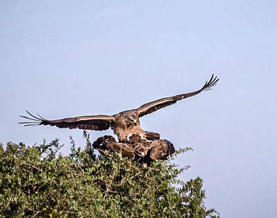 Martial Eagles Mating Poster by Marion McCristall