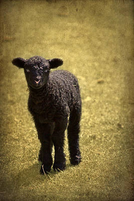 Mary Had A Little Lamb Poster by Evelina Kremsdorf