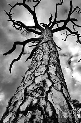 Medusa Pine Poster by Lynda Dawson-Youngclaus