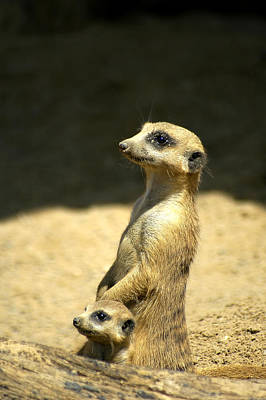 Meerkat Mother And Baby Poster by Carolyn Marshall