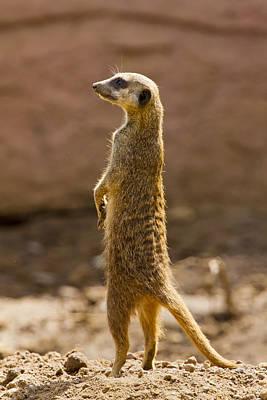 Meerkat Poster by Paul Roberts