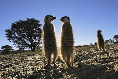Meerkats Start Each Day With A Sunbath Poster by Mattias Klum