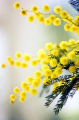Mimosa (acacia Dealbata) Poster by Maria Mosolova