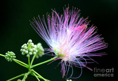 Mimosa Flower Poster by Heinz G Mielke